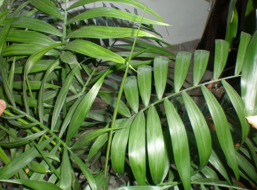 Хамедорея элеганс